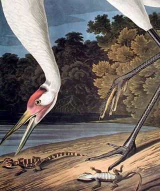 """Hooping Crane. From """"The Birds of America"""" (Amsterdam Edition)"""
