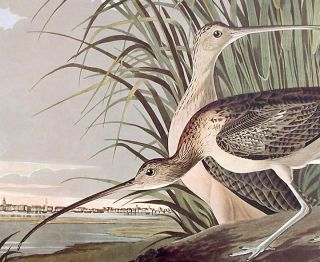 "Long-billed Curlew. From ""The Birds of America"" (Amsterdam Edition)"