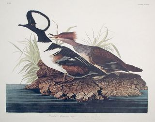 "Hooded Merganser. From ""The Birds of America"" (Amsterdam Edition). John James AUDUBON"