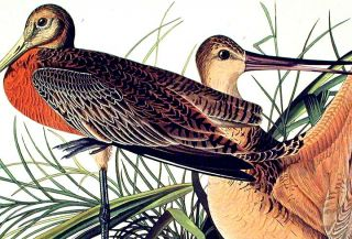 "Great Marbled Godwit. From ""The Birds of America"" (Amsterdam Edition)"