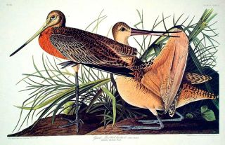 "Great Marbled Godwit. From ""The Birds of America"" (Amsterdam Edition). John James AUDUBON"