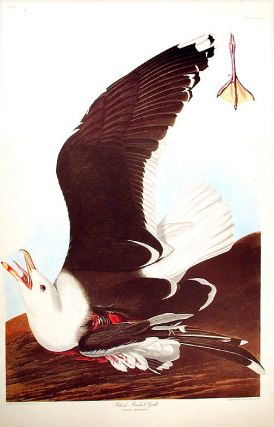 "Black-Backed Gull. From ""The Birds of America"" (Amsterdam Edition). John James AUDUBON"