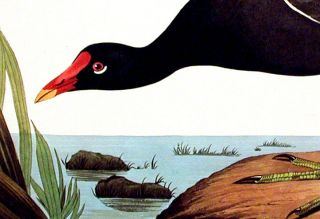 "Common Gallinule. From ""The Birds of America"" (Amsterdam Edition)"