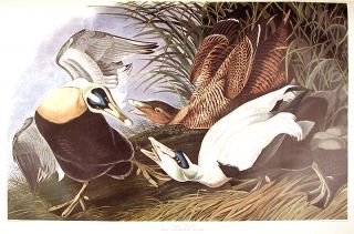 "Eider Duck. From ""The Birds of America"" (Amsterdam Edition). John James AUDUBON"