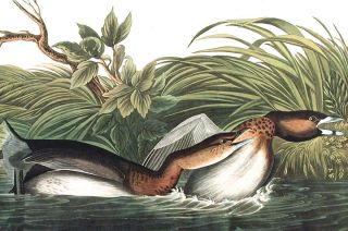 "American Pied-bill Dobchick. From ""The Birds of America"" (Amsterdam Edition)"