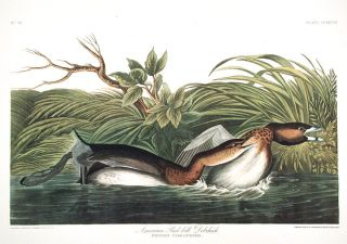 "American Pied-bill Dobchick. From ""The Birds of America"" (Amsterdam Edition). John James AUDUBON"