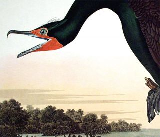 "Florida Cormorant. From ""The Birds of America"" (Amsterdam Edition)"