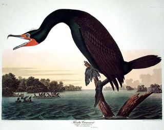 "Florida Cormorant. From ""The Birds of America"" (Amsterdam Edition). John James AUDUBON"