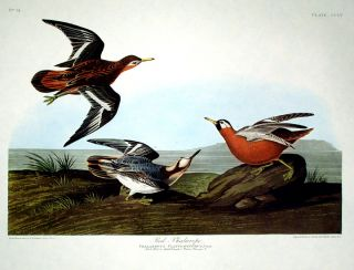 "Red Phalarope. From ""The Birds of America"" (Amsterdam Edition). John James AUDUBON"