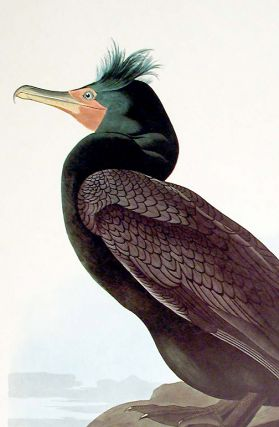 "Double-crested Cormorant. From ""The Birds of America"" (Amsterdam Edition)"