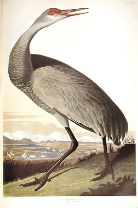 "Hooping Crane. From ""The Birds of America"" (Amsterdam Edition). John James AUDUBON"