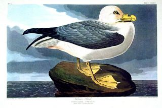 "Fulmar Petrel. From ""The Birds of America"" (Amsterdam Edition). John James AUDUBON"