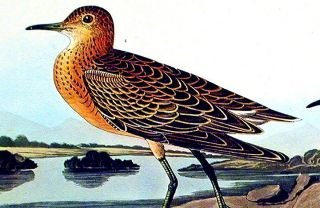"Buff breasted Sandpiper. From ""The Birds of America"" (Amsterdam Edition)"