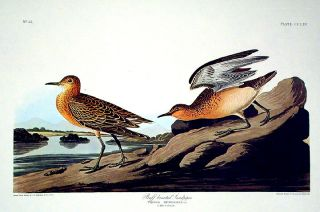 "Buff breasted Sandpiper. From ""The Birds of America"" (Amsterdam Edition). John James AUDUBON"