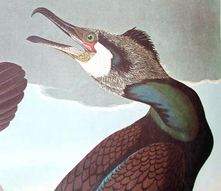 "Common Cormorant. From ""The Birds of America"" (Amsterdam Edition)"