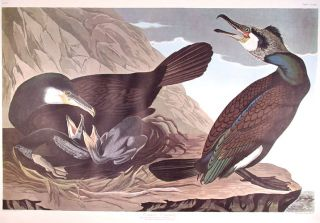 "Common Cormorant. From ""The Birds of America"" (Amsterdam Edition). John James AUDUBON"