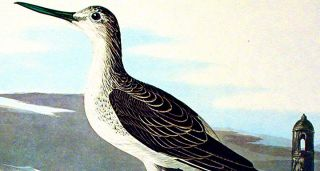 "Greenshank. From ""The Birds of America"" (Amsterdam Edition)"