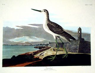 "Greenshank. From ""The Birds of America"" (Amsterdam Edition). John James AUDUBON"