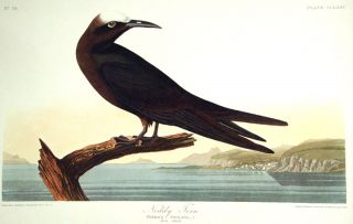 "Noddy Tern. From ""The Birds of America"" (Amsterdam Edition). John James AUDUBON"