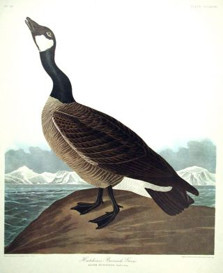 "Hutchins's Barnacle Goose. From ""The Birds of America"" (Amsterdam Edition). John James AUDUBON"