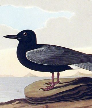 "Black Tern. From ""The Birds of America"" (Amsterdam Edition)"