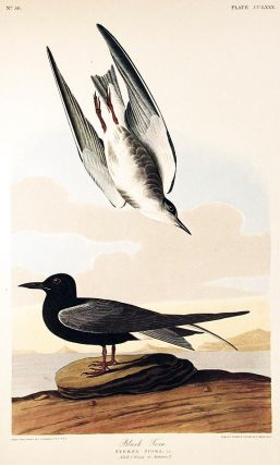 "Black Tern. From ""The Birds of America"" (Amsterdam Edition). John James AUDUBON"