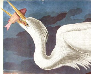 "Great White Heron. From ""The Birds of America"" (Amsterdam Edition)"