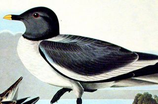 """Fork-tailed Gull. From """"The Birds of America"""" (Amsterdam Edition)"""