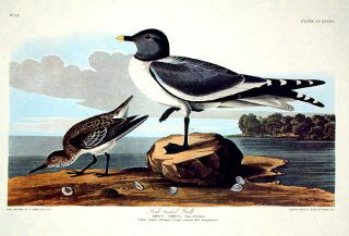 "Fork-tailed Gull. From ""The Birds of America"" (Amsterdam Edition). John James AUDUBON"