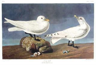 "Ivory Gull. From ""The Birds of America"" (Amsterdam Edition). John James AUDUBON"