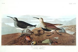 "Red-backed Sandpiper. From ""The Birds of America"" (Amsterdam Edition). John James AUDUBON"