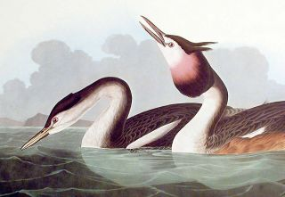 """Crested Grebe. From """"The Birds of America"""" (Amsterdam Edition)"""