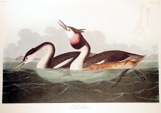 "Crested Grebe. From ""The Birds of America"" (Amsterdam Edition). John James AUDUBON"