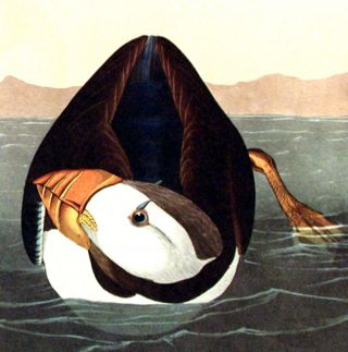"Large billed Puffin. From ""The Birds of America"" (Amsterdam Edition)"