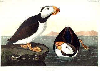 "Large billed Puffin. From ""The Birds of America"" (Amsterdam Edition). John James AUDUBON"