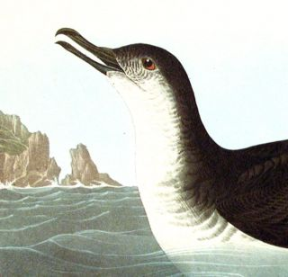 "Manks Shearwater. From ""The Birds of America"" (Amsterdam Edition)"