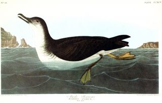 "Manks Shearwater. From ""The Birds of America"" (Amsterdam Edition). John James AUDUBON"