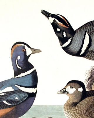 "Harlequin Duck. From ""The Birds of America"" (Amsterdam Edition)"