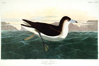 "Dusky Petrel. From ""The Birds of America"" (Amsterdam Edition). John James AUDUBON"