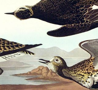 "Golden Plover. From ""The Birds of America"" (Amsterdam Edition)"