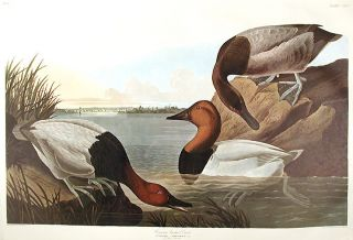 "Canvas backed Duck. From ""The Birds of America"" (Amsterdam Edition). John James AUDUBON"
