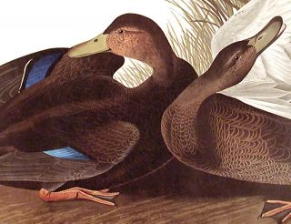 "Dusky Duck. From ""The Birds of America"" (Amsterdam Edition)"