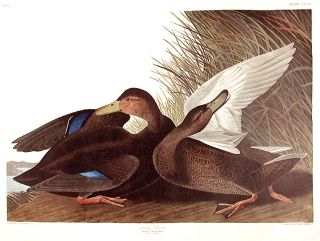 "Dusky Duck. From ""The Birds of America"" (Amsterdam Edition). John James AUDUBON"