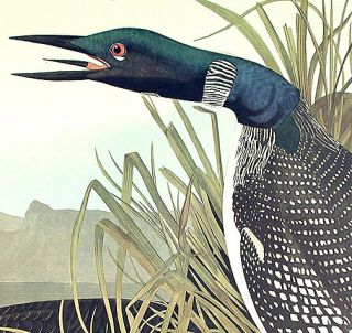 "Great Northern Diver or Loon. From ""The Birds of America"" (Amsterdam Edition)"