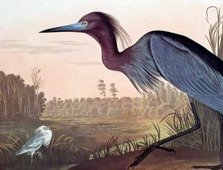 """Blue Crane or Heron. From """"The Birds of America"""" (Amsterdam Edition)"""