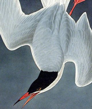 "Great Tern. From ""The Birds of America"" (Amsterdam Edition)"