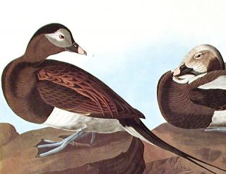 """Long-tailed Duck. From """"The Birds of America"""" (Amsterdam Edition)"""