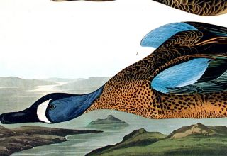 "Blue-Winged Teal. From ""The Birds of America"" (Amsterdam Edition)"