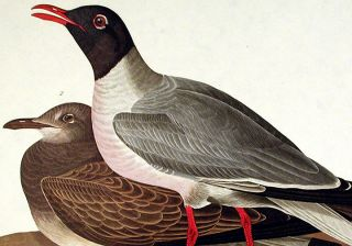 "Black-headed Gull. From ""The Birds of America"" (Amsterdam Edition)"