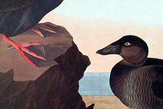 "Black or Surf Duck. From ""The Birds of America"" (Amsterdam Edition)"